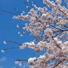 杉並児童合唱団『花は咲く』